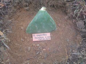 Opuntia nopales de Nigeria (sin raíz)
